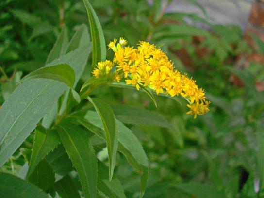 золотарник обыкновенный - фото 2