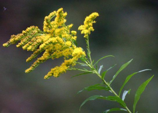 золотарник обыкновенный - фото 6