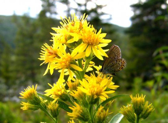 золотарник обыкновенный - фото 5