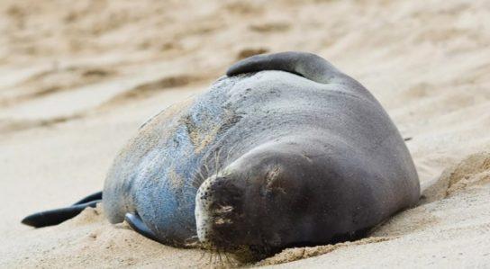 Гавайский вид тюленя монаха