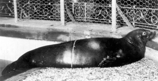 Карибский вид тюленя монаха