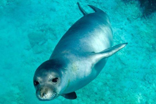 Тюлень-монах Средиземноморский подвид