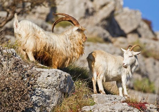 как выглядит безоаровый козел