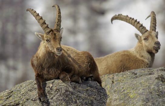 где обитает безоаровый козел