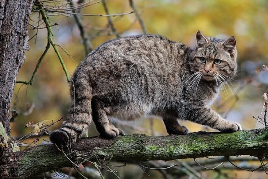 где обитает лесная дикая кошка
