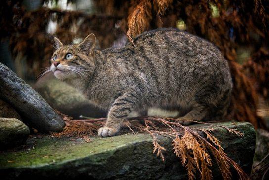 описание лесной кавказской кошки