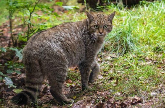 как выглядит кавказская кошка