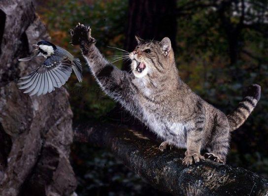 питание кавказской лесной кошки
