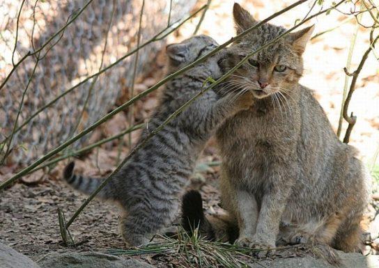 Лесная кошка с котятами