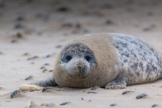 как выглядит серый тюлень