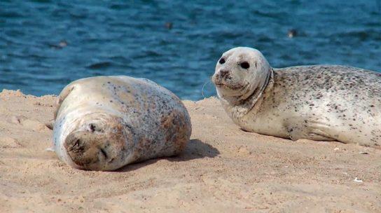 где обитает серый тюлень