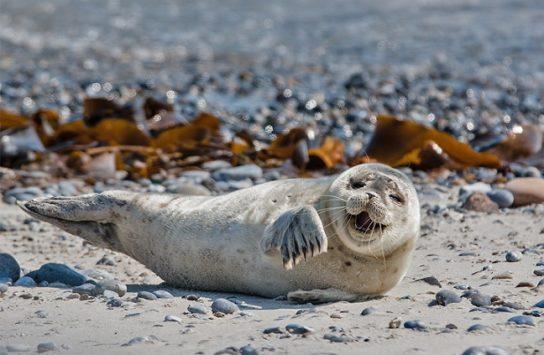 фото серого тюленя