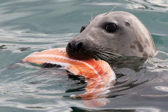 чем питается серый тюлень