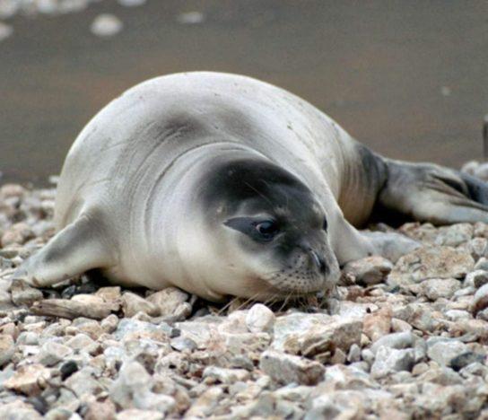 тюлень монах - фото