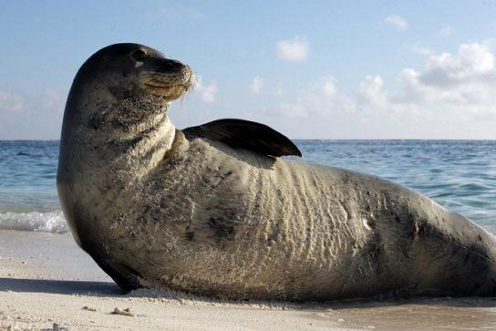 где обитает тюлень монах