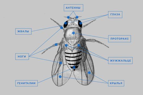 Строение двукрылых насекомых