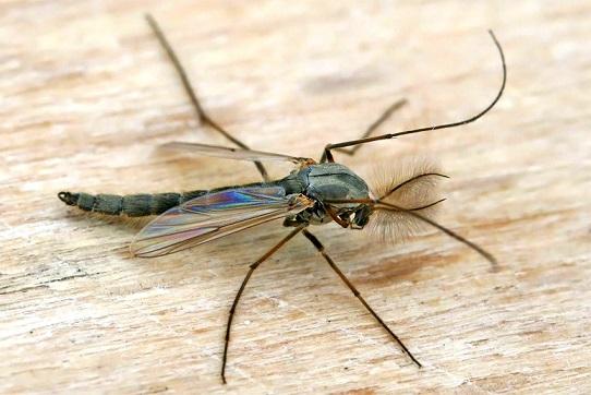 Комар дергун