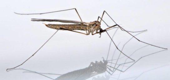Комар луговка