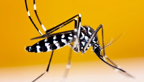 Комар тигровый