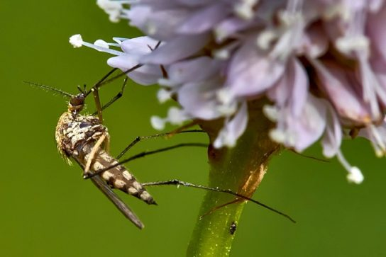 питание комаров