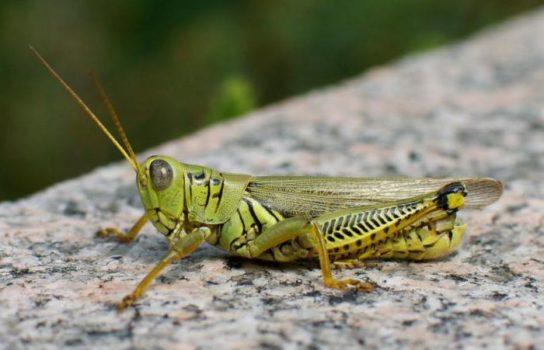 Прямокрылые насекомые - фото