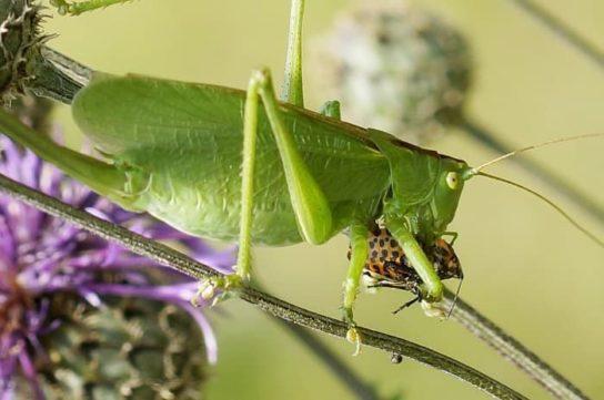 питание прямокрылых насекомых
