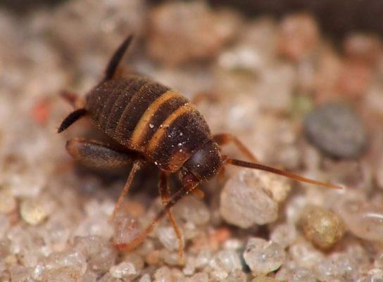 Сверчок-муравьелюб - фото