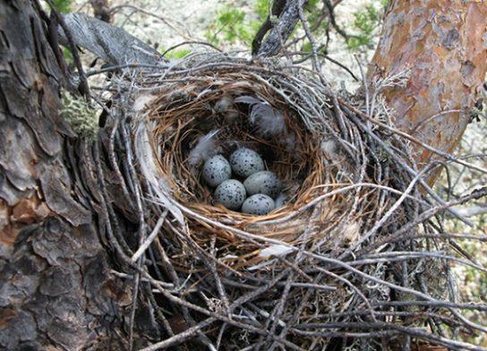 Яйца свиристеля в гнезде