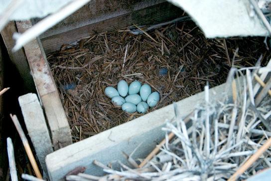 Яйца удода