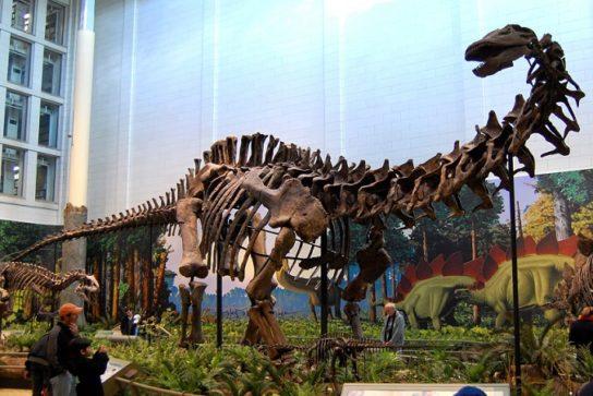 скелет Апатозавра