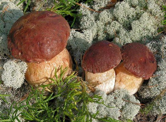 Белый гриб сосновый - как выглядит