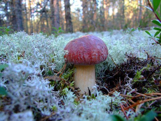 Как распространяется белый сосновый гриб