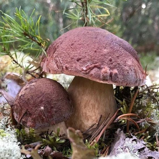 использование белого соснового гриба