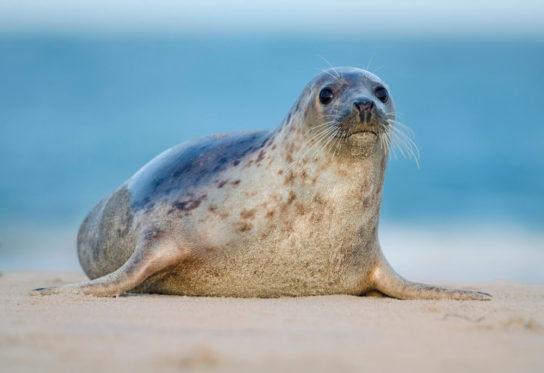 образ жизни обыкновенного тюленя