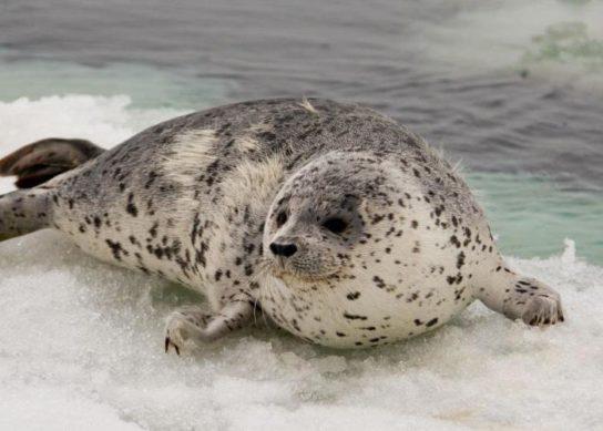 чем питается обыкновенный тюлень