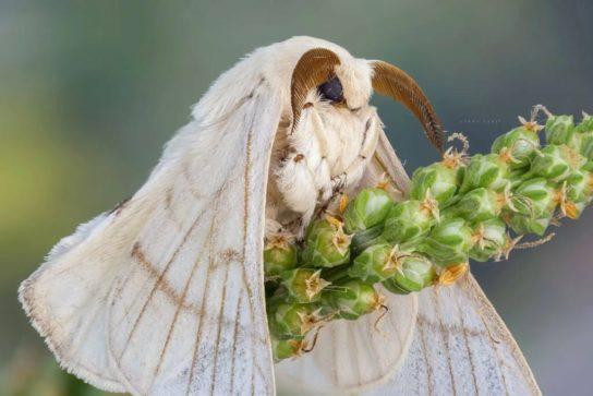 внешний вид шелкопряда тутового