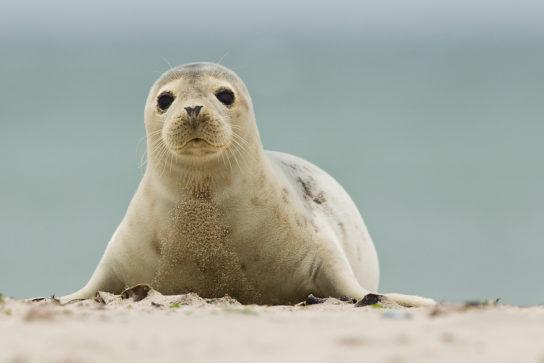 как выглядит обыкновенный тюлень