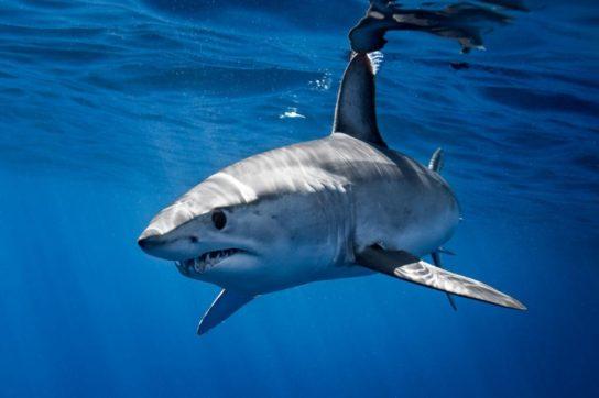 Происхождение название акула мако