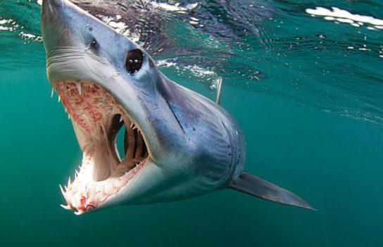 как выглядит акула мако