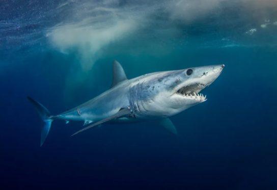 где обитает акула мако
