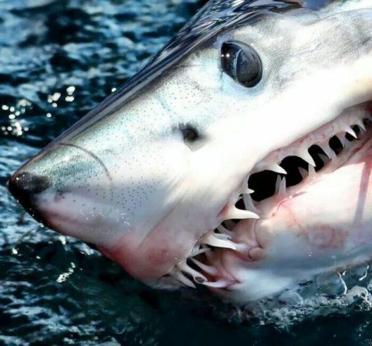 чем питается акула мако